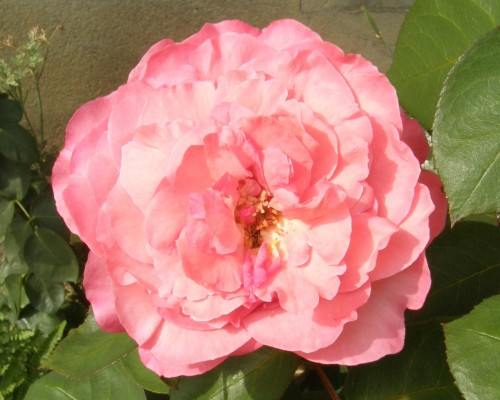 Rose Maillard 2011.JPG