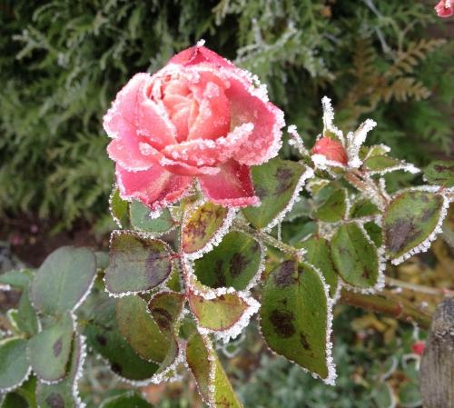 Rose gelée  décembre 2016 (1).jpg