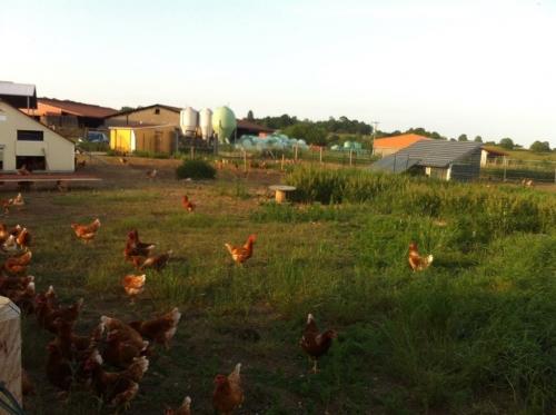 AMAP ferme poules.jpg