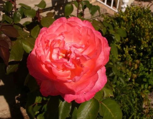 Rose 28082014.JPG