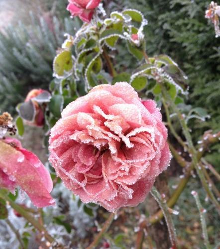 Rose gelée  décembre 2016 (2).jpg