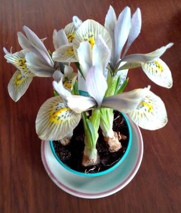 Mini iris.jpg